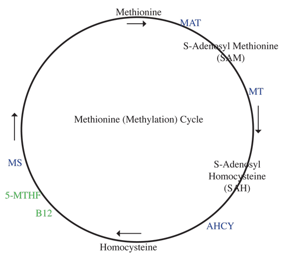 methionine cycle with enzymes